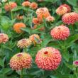 Pompás rézvirág (Zinnia elegans) - 'Queeny Lime Orange'