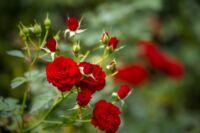 Rendelj rózsát, ültess klasszikus szépségeket kertedbe!