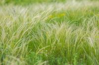 A modern kertek növényei: a díszfüvek