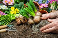 Tavaszi virághagymák és gumók: Mire kell ügyelni az ültetés során?