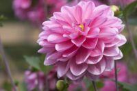 Édes illatok a kertben: nyári orgona
