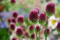 Dobstick allium