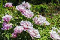 Ültess a nyaralód kertjébe is fás bazsarózsát!