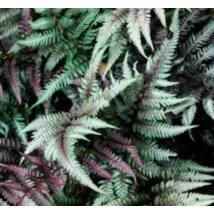 Páfrány - Burgundy Lace