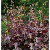 Heuchera (Tűzeső) - Purple Palace
