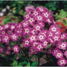 Lángvirág (Phlox paniculata) 'Laura'