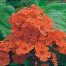 Lángvirág (Phlox paniculata) 'Orange'