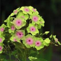 Lángvirág (Phlox paniculata) 'Sherbet'
