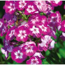 Lángvirág (Phlox paniculata) 'Sweet summer'