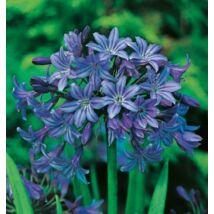 Agaphantus - Kék