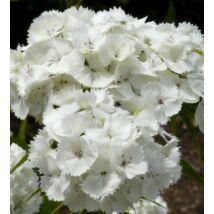 Törökszegfű (Dianthus barbatus) 'Albus'