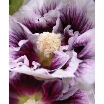 Mályvarózsa (Alcea rose) 'Blackcurrant Whirl'