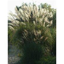 Molnárpántlika - Miscanthus sinensis 'Blütenwunder'