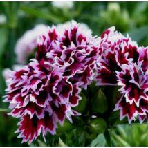 Törökszegfű (Dianthus barbatus x chinensis) 'Kensington Mix'