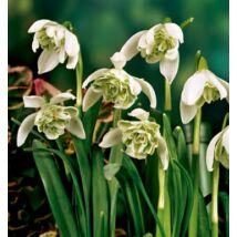 Hóvirág, dupla virágú (Galanthus)