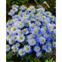 Őszirózsa - Lady In Blue