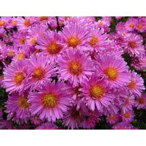 Őszirózsa - Pink Bouquet
