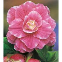 Begónia 'Camellia' (1 db)