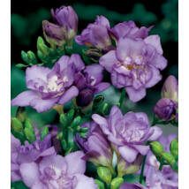 Frézia, teltvirágú - Lila (1 db)