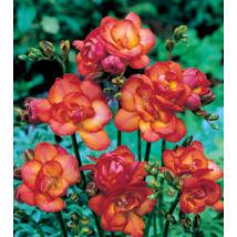 Frézia, teltvirágú - Piros (1 db)