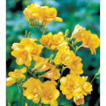 Frézia, teltvirágú - Sárga (1 db)