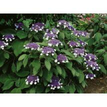 Érdeslevelű hortenzia (Hydrangea aspera MACROPHYLLA)