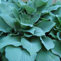 Árnyékliliom (Hosta) - Fragrant Blue
