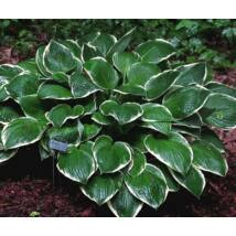 Árnyékliliom (Hosta) - Green Gold