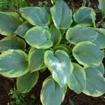 HOSTA -  FRANCESS WILLIAMS