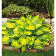 HOSTA -  BANANA BAY