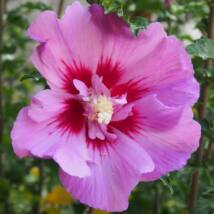 Hibiscus syriacus  - ERUPTION