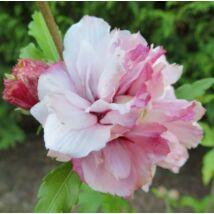 Hibiscus syriacus  - FRENCH CABARET PASTEL