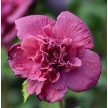 Hibiscus syriacus  - FRENCH CABARET RED