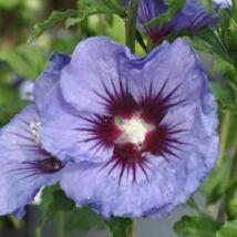 Hibiscus syriacus  - ULTRAMARINE