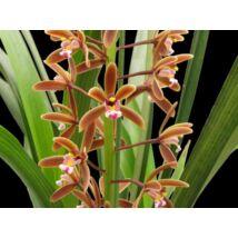 Cymbidium floribundum orchidea