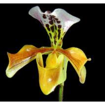 Paphiopedilum gratrixianum papucs orchidea