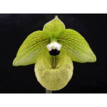 Paphiopedilum malipoense papucs orchidea