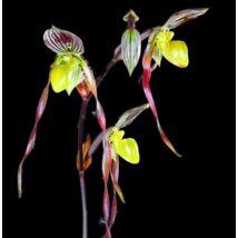 Paphiopedilum philippinense papucs orchidea