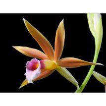 Phaius wallichii orchidea