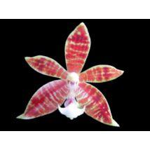 Phalaenopsis cornu-cervi x speciosa orchidea