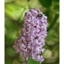 Közönséges orgona (Syringa vulgaris) (K2)