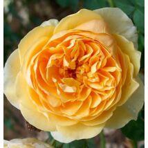 'Ausgold' angol rózsa