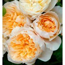 'Jayne Austin' angol rózsa