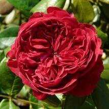 Alain Souchon ® romantikus rózsa