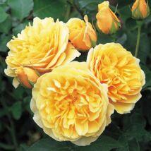 Graham Thomas angol rózsa