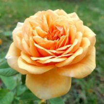 'Ellen' romantikus angol rózsa