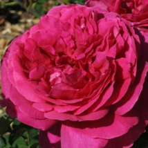 'Macbeth' romantikus angol rózsa