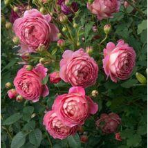 Jubilee Celebration angol rózsa