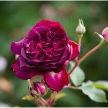 Munstead Wood angol rózsa