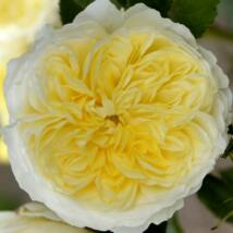 'The Pilgrim' romantikus angol rózsa